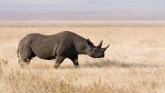 Rhinoceros Wallpaper 43098
