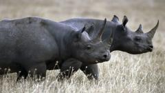 Rhinoceros Wallpaper 43100
