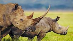 Rhinoceros Wallpaper 43101