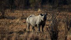 Rhinoceros Wallpaper HD 43099