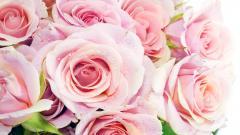 Roses 26098