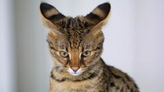 Savannah Cat Wallpaper 38516