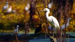 Stunning Egret Bird Wallpaper 44284