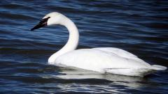 Swan Pictures 28069