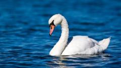 Swan Wallpaper 28061