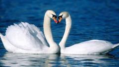 Swans 28065