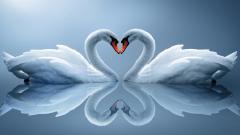 Swans 28077