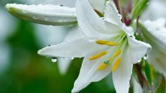 White Lily Flowers 30791