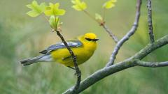 Yellow Bird Wallpapers 40084