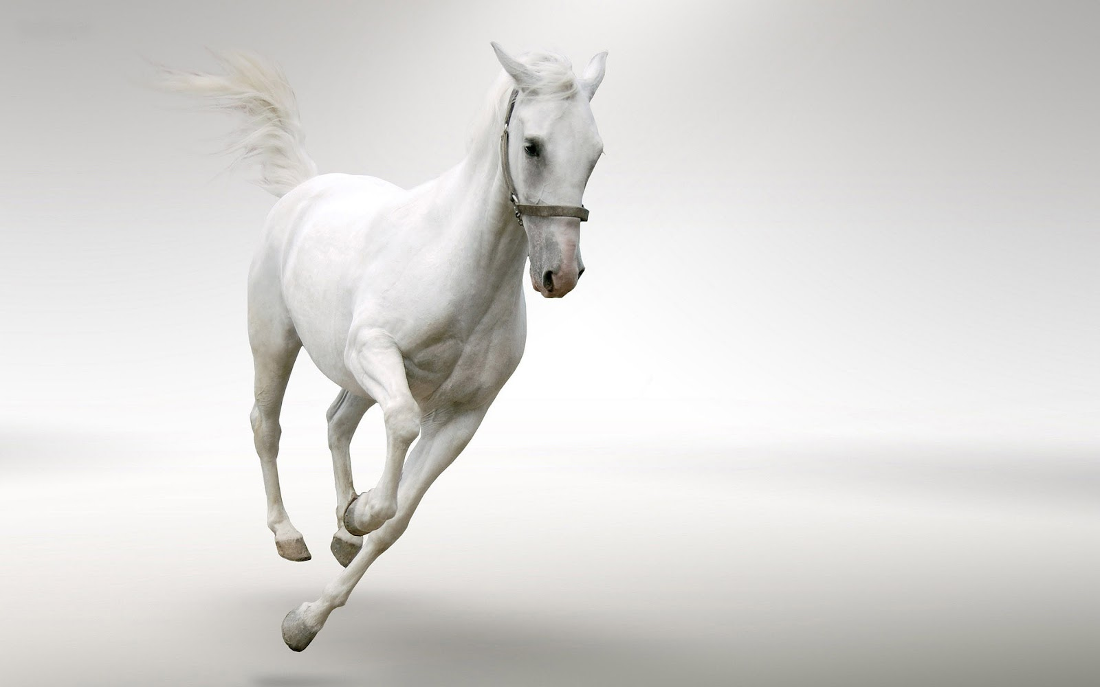 White Horse Wallpaper All Hd Wallpapers Gallery