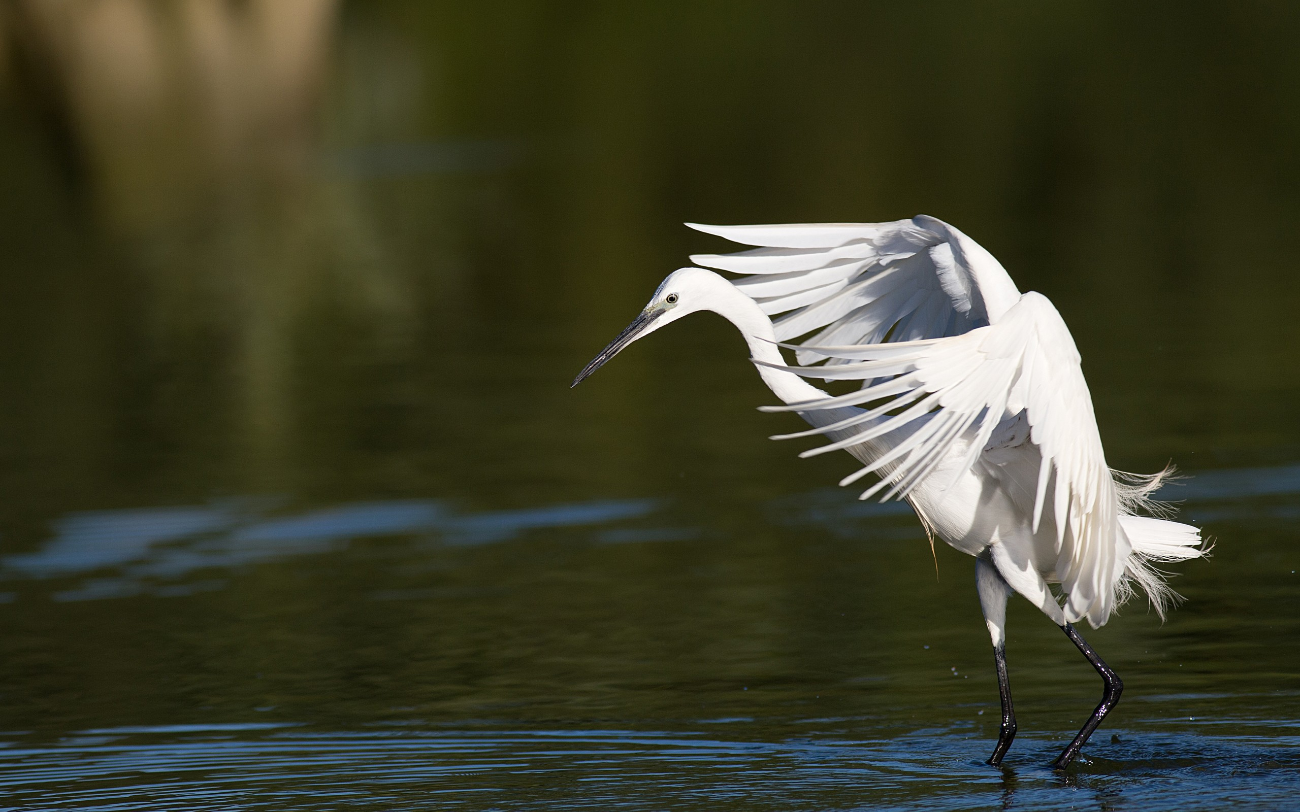 wonderful egret bird wallpaper 44285