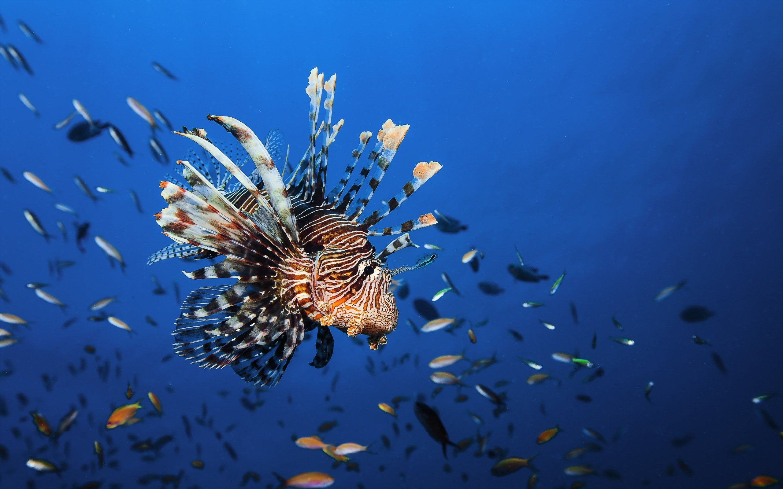 wonderful lionfish wallpaper 44697
