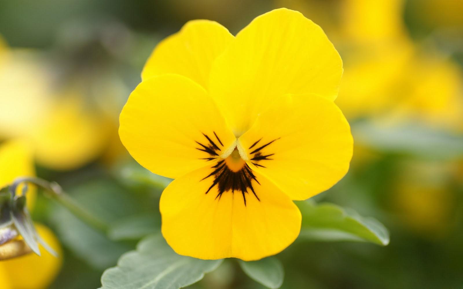Yellow Pansy Flowers Wallpaper 43224 1600x1000 Px Hdwallsource