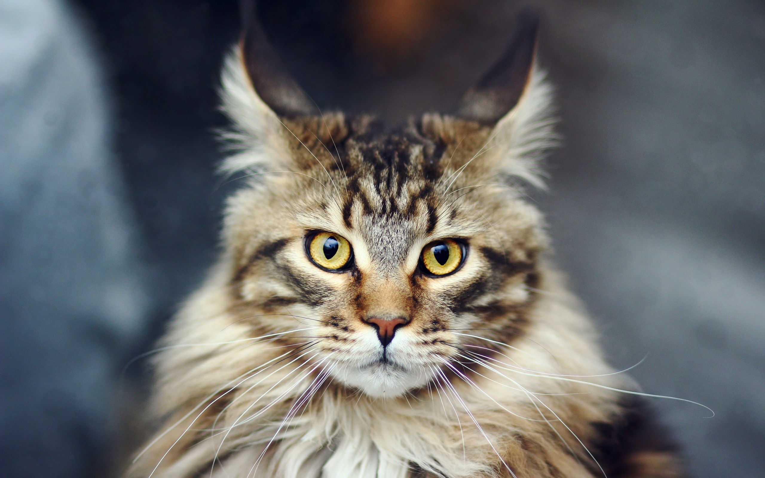 awesome fluffy cat look wallpaper 44167