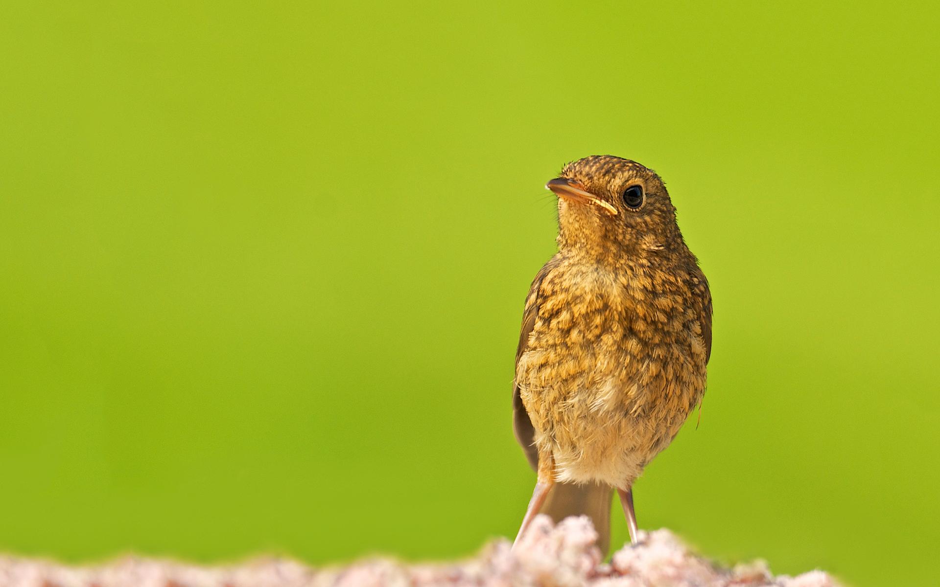 baby robin bird wallpaper 43162