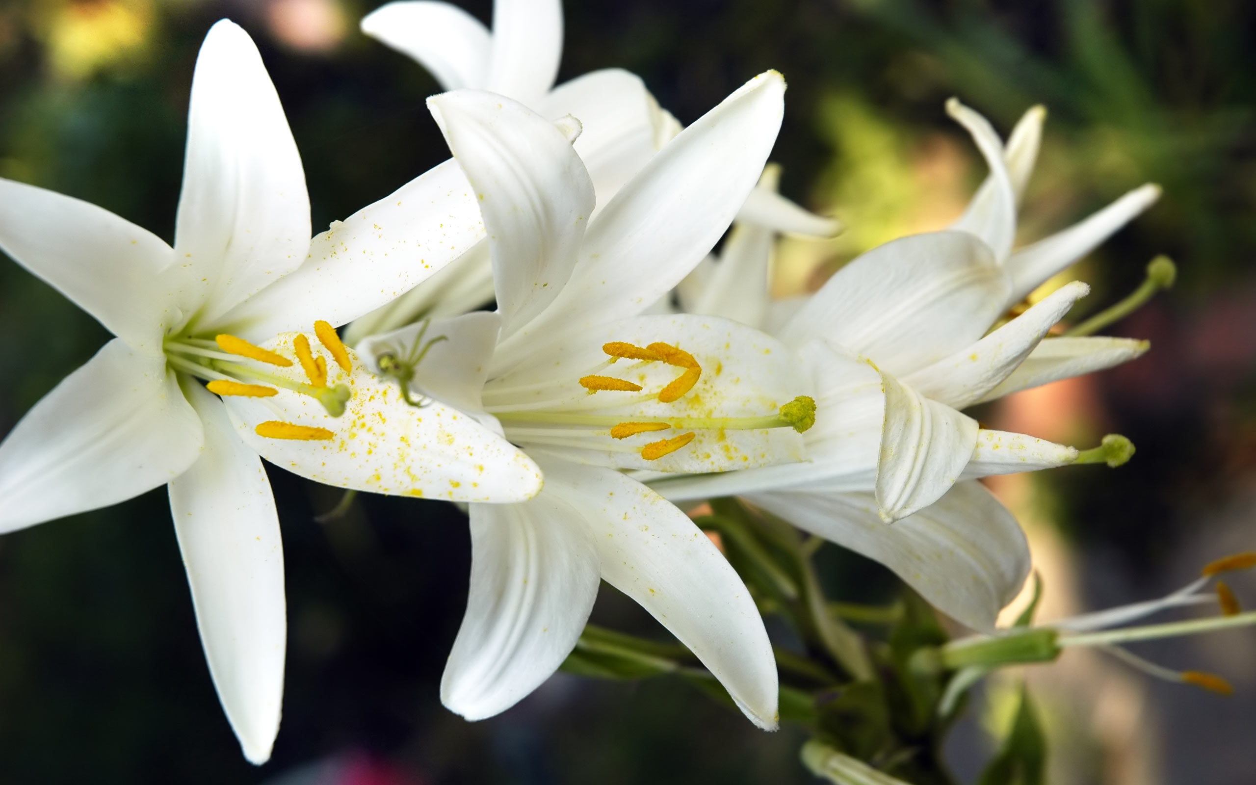 beautiful lily flower wallpaper 41033