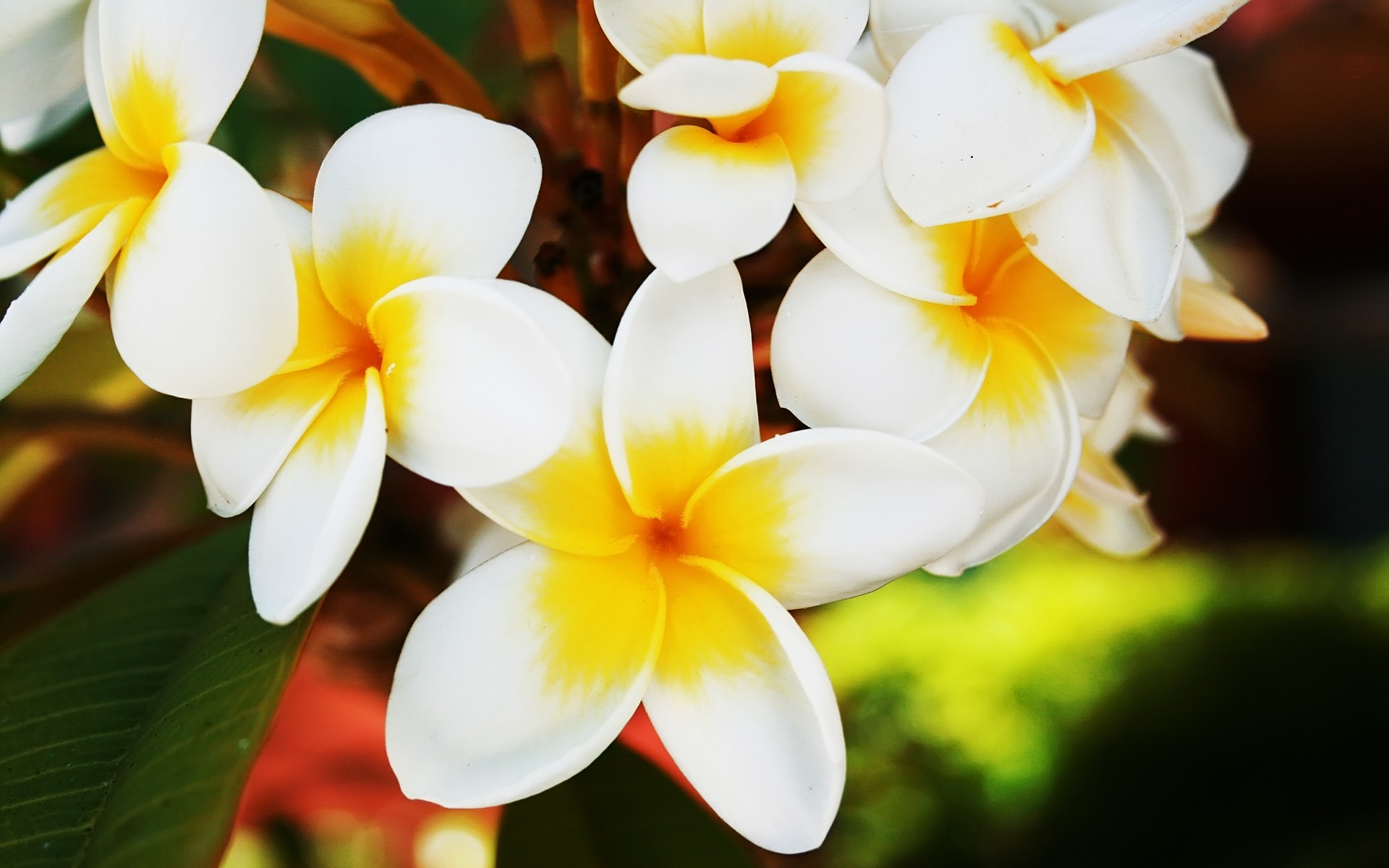 beautiful plumeria wallpaper 32347