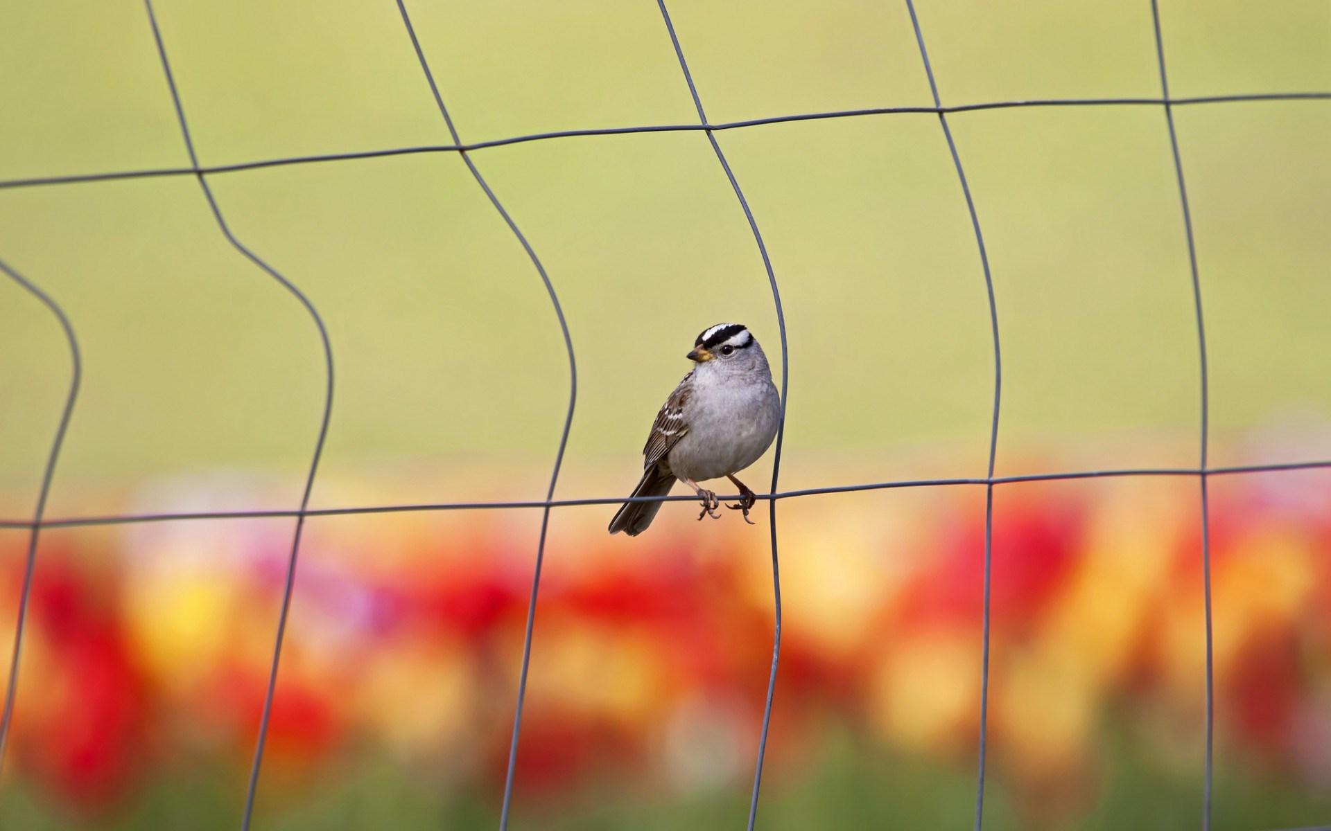 bird fence wallpaper 44181