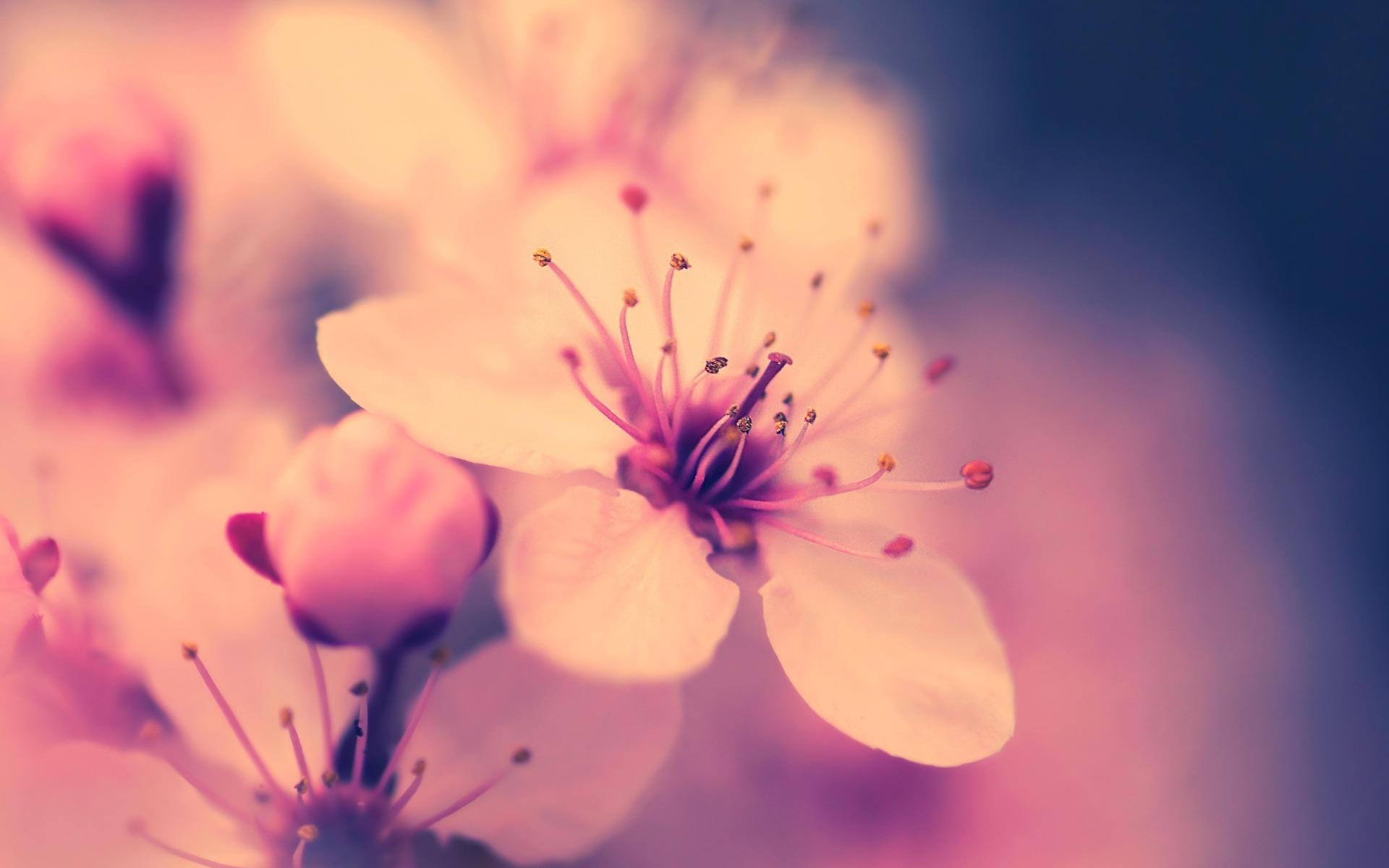 cherry blossom flower 30537