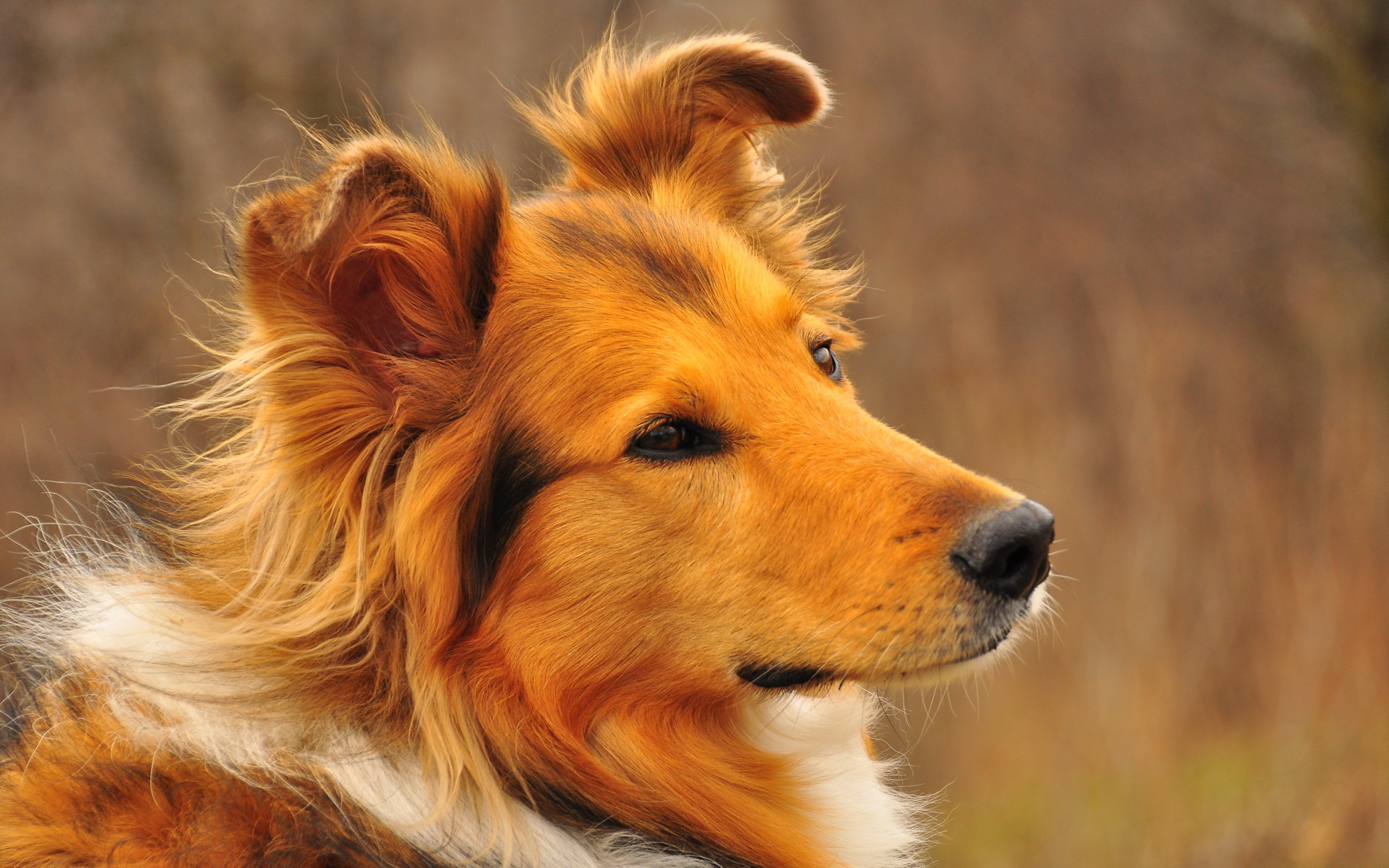 collie wallpaper 43487
