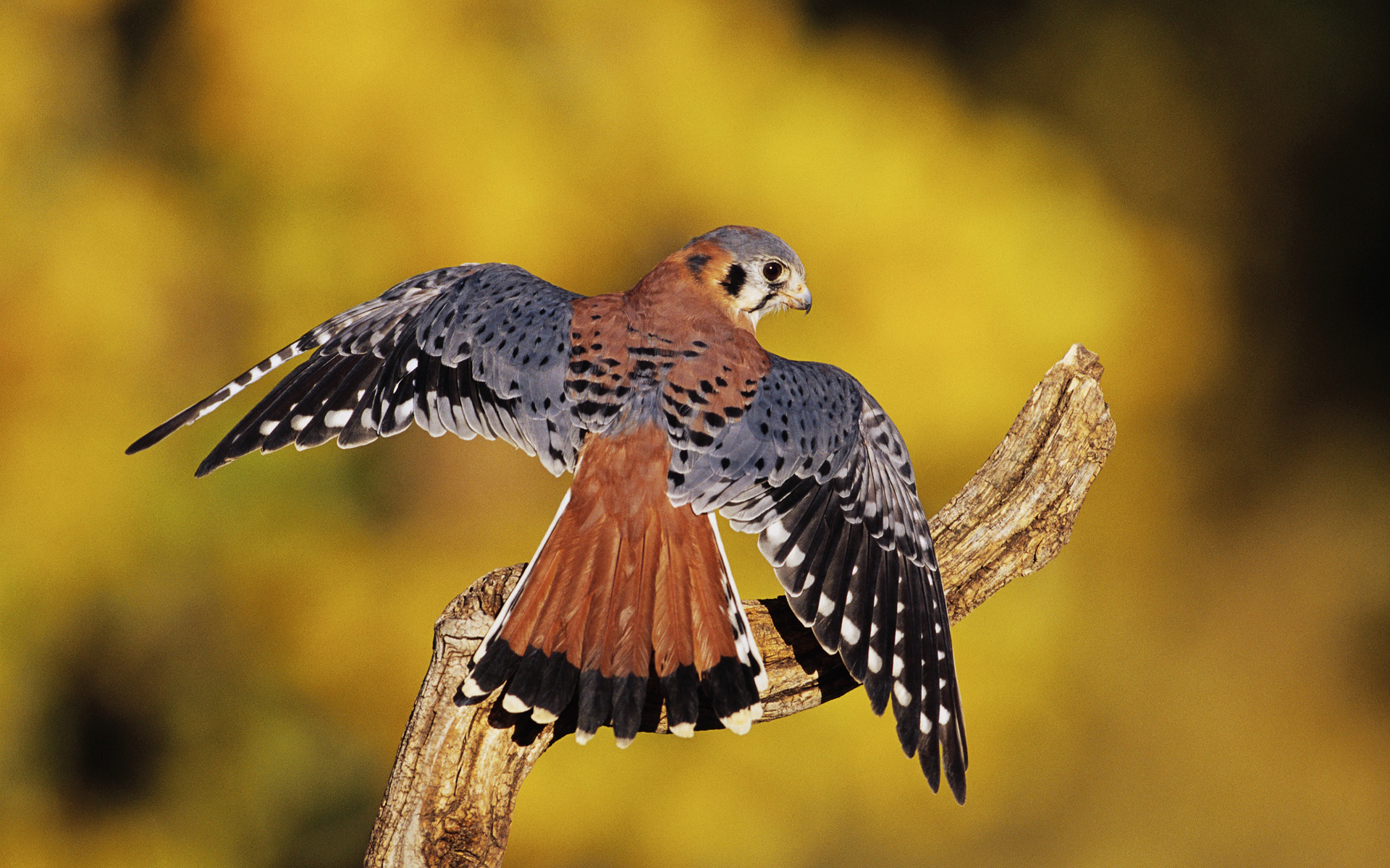 fantastic kestrel wallpaper 43129