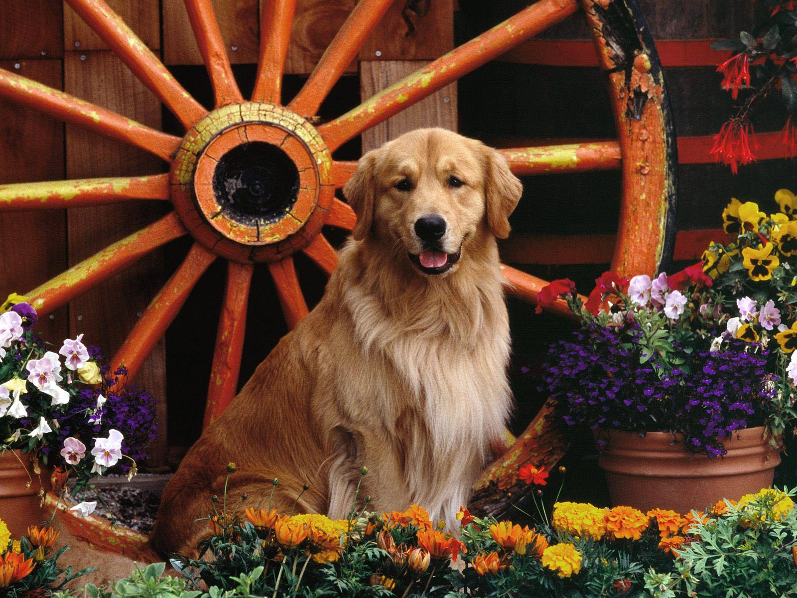 golden retriever wallpaper 4546