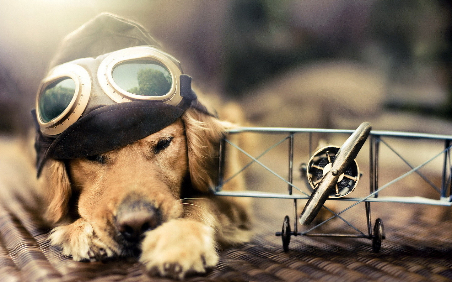 Golden Retriever Wallpaper 4550 1440x900px
