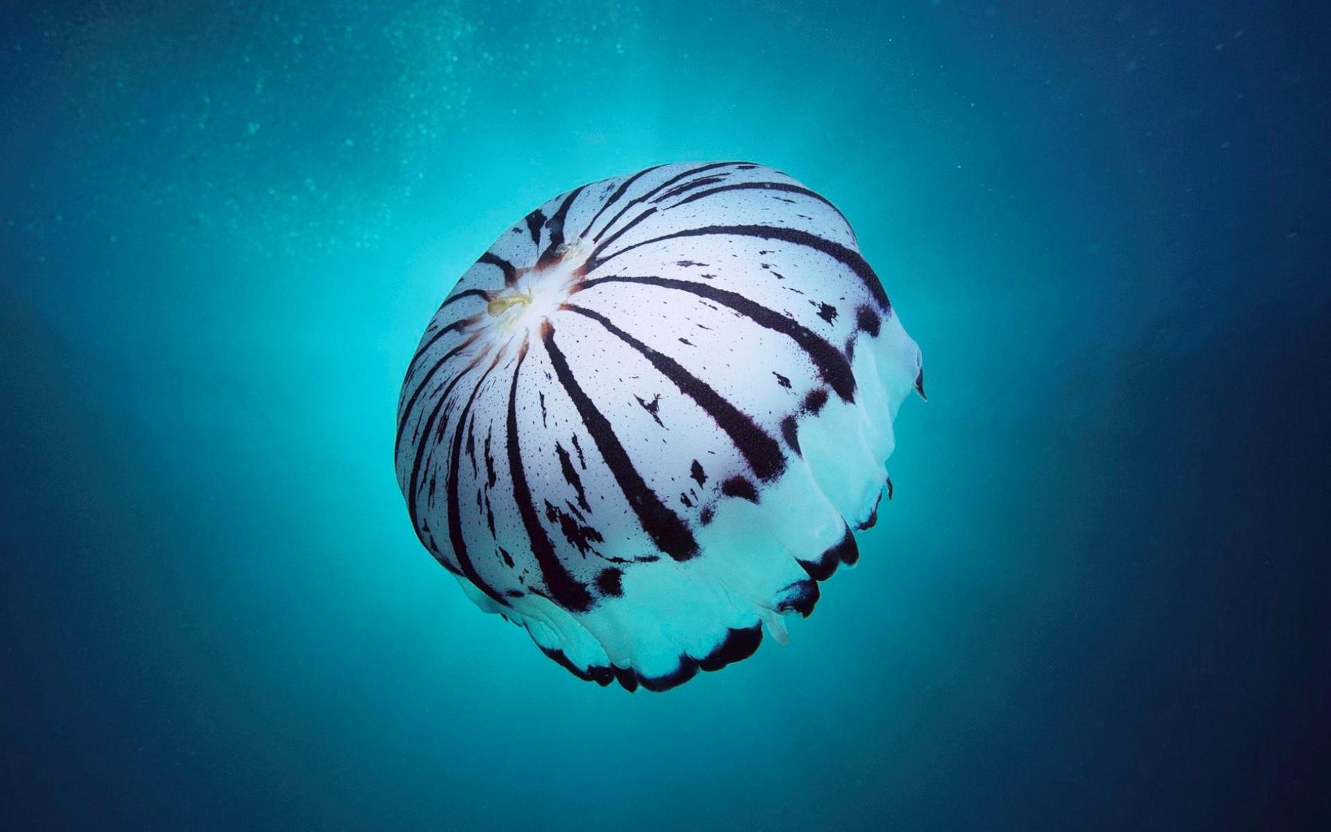jellyfish wallpaper 4568