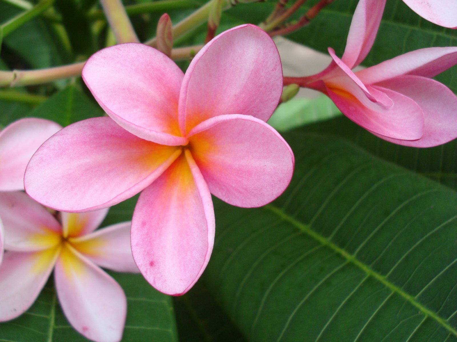 pink plumeria 32355