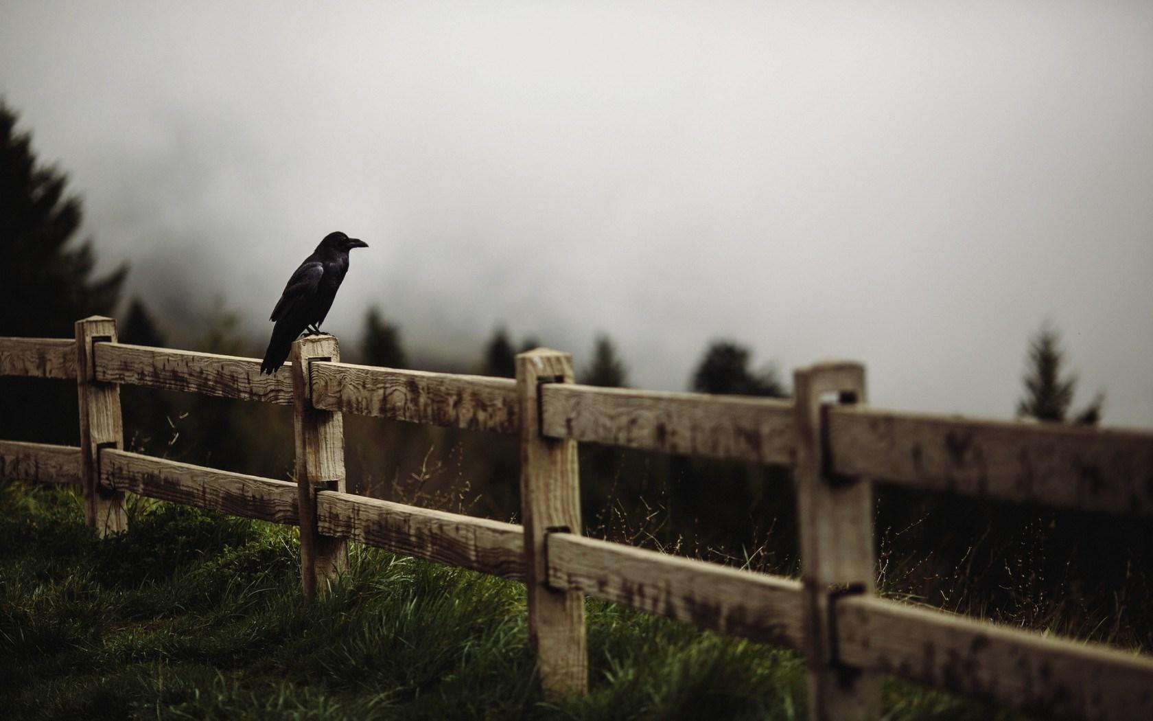 raven bird fence wallpaper 44182