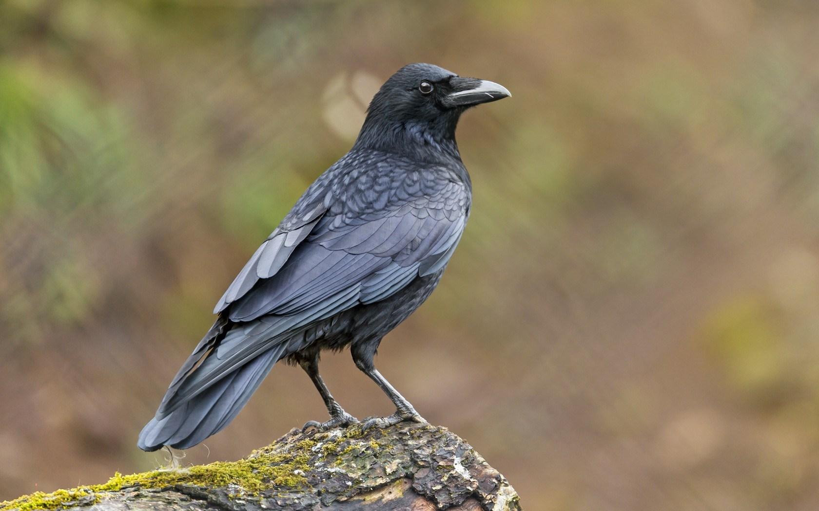 raven bird wallpaper 44137