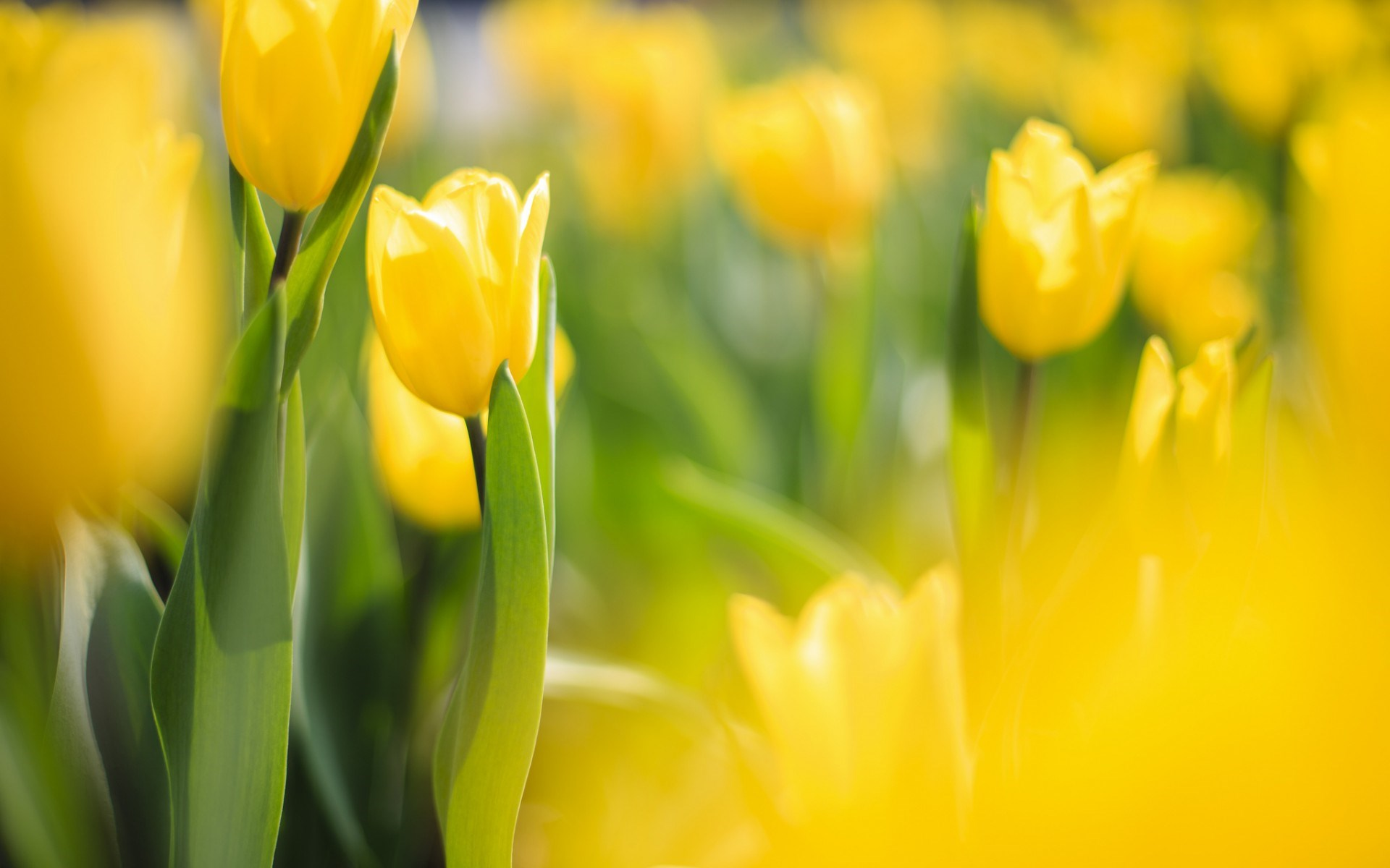 stunning yellow macro wallpaper 37408