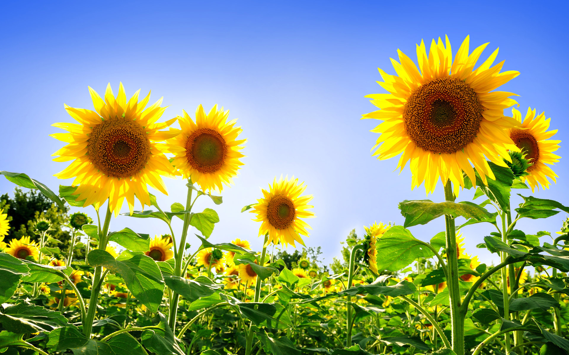 Sunflower Wallpaper 16052 1920x1200 px ~ HDWallSource.com