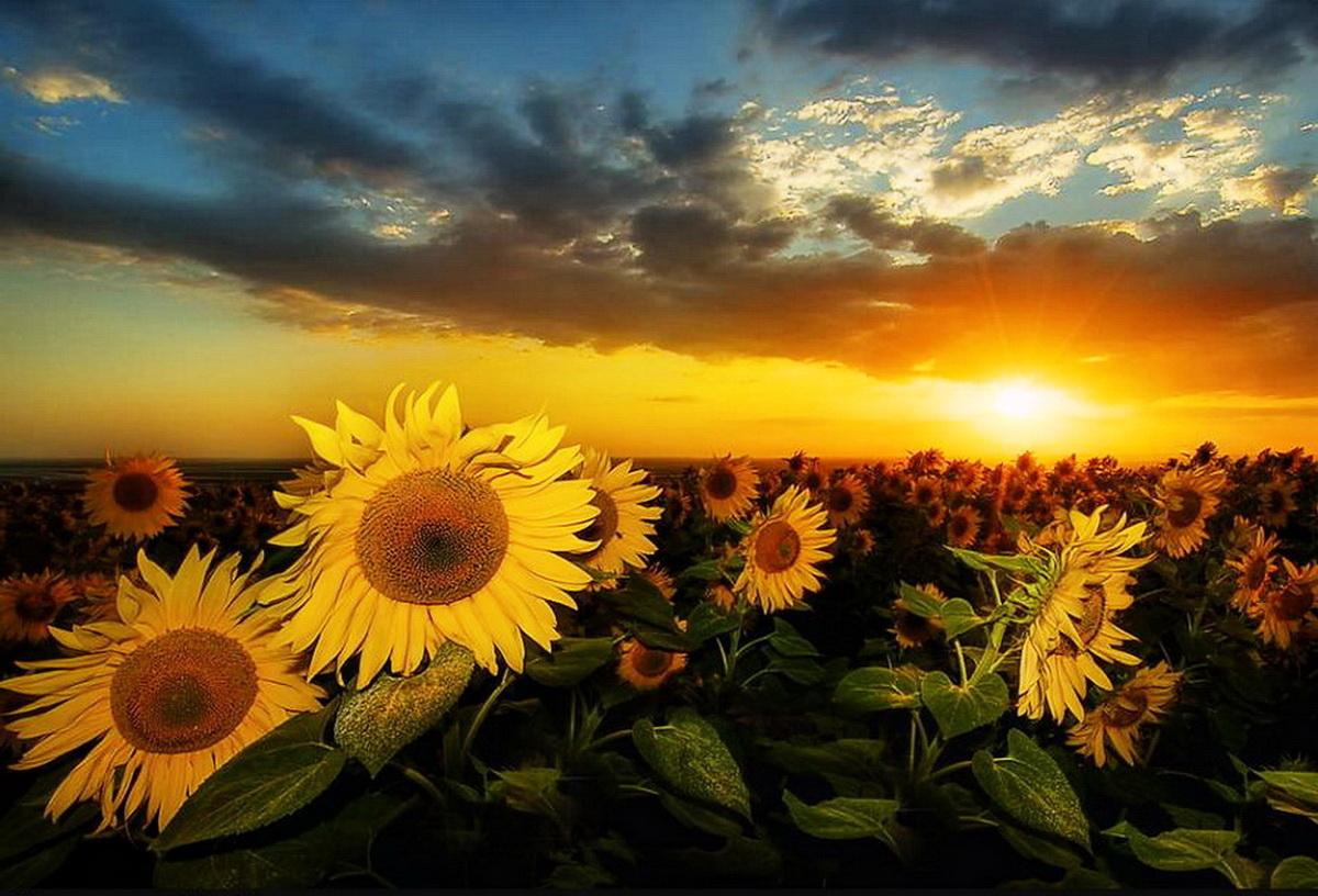 Hd wallpaper sunset beach - Sunflower Sunset 21587 1200x816 Px Hdwallsource Com