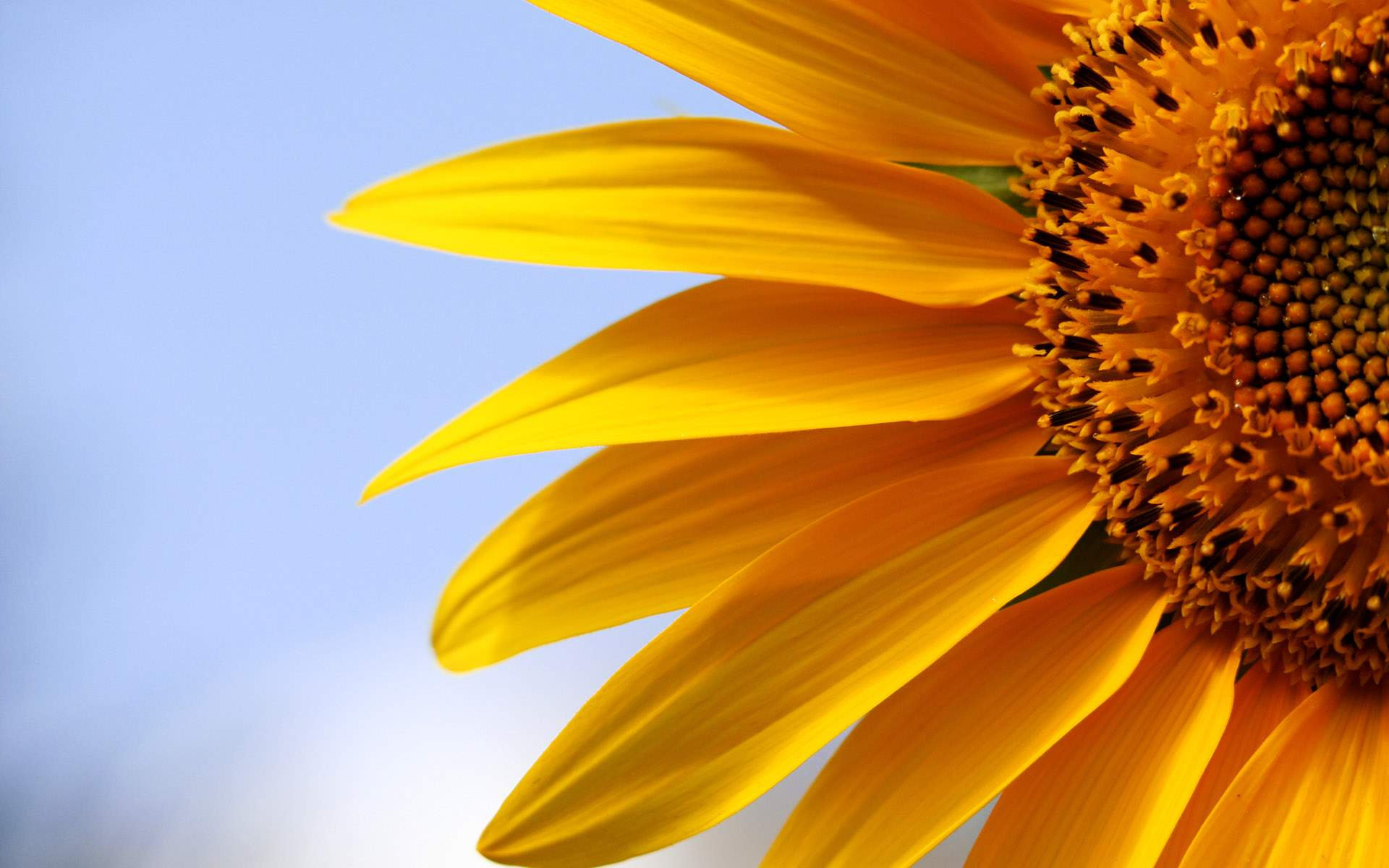 sunflowers 21578