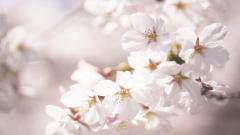 Beautiful Cherry Blossom Flower 30538