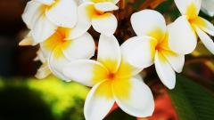 Beautiful Plumeria 32358
