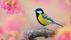 Beautiful Titmouse Wallpaper 43165