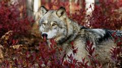 Beautiful Wolf Wallpaper 43161