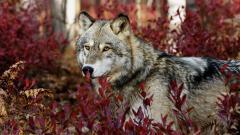 Beautiful Wolf Wallpaper 43161