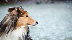 Collie Wallpaper 43482