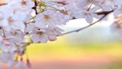 Cherry Blossom Flower 30539