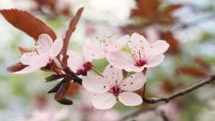 Cherry Blossom Flower 30542