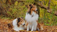 Collie Wallpaper 43483