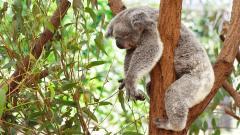 Cute Koala Wallpaper 37421