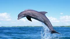 Dolphin Wallpaper 4557