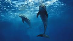 Dolphin Wallpaper 4561