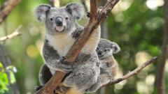 Fantastic Koala Wallpaper 37428