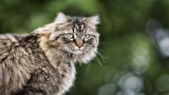 Fluffy Cat Look Wallpaper 44157