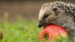Free Hedgehog Wallpaper 43789